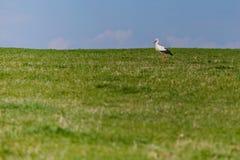 吃草在绿草的野生白色鹳在一好日子 免版税库存图片