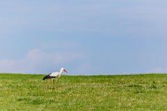 吃草在绿草的野生白色鹳 库存图片