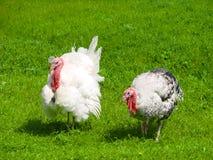 吃草在绿草背景的土耳其男性或雄火鸡 免版税库存图片