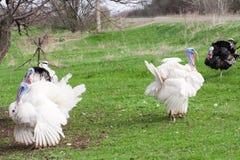 吃草在绿草背景的土耳其男性或雄火鸡 免版税库存照片