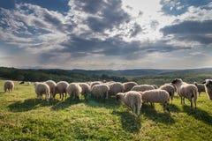 吃草在美丽的山草甸的绵羊群  图库摄影