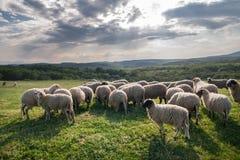 吃草在美丽的山草甸的绵羊 免版税库存图片