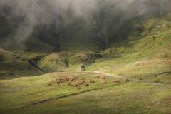 吃草在美好的山风景的布朗母牛 库存图片