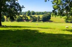 吃草在美好的风景的一个开放领域的绵羊 库存图片