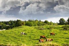 吃草在老农村风景的牛 免版税库存照片