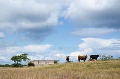 吃草在老城堡废墟前面的牛 库存图片