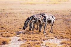 吃草在肯尼亚,非洲的平原的三匹斑马 库存图片