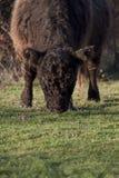 吃草在自由自然的野生盖洛韦母牛 免版税库存照片