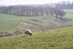 吃草在苏格兰农厂风景的扮演黑人绵羊 免版税库存照片