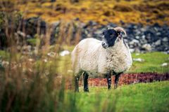 吃草在苏格兰高地的一只唯一绵羊 免版税库存图片