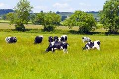 吃草在英国乡下的母牛 库存图片