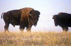 吃草在范围, Niobrara全国野生生物保护区, NE的水牛城 免版税库存图片