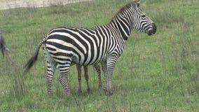 吃草在草原的对斑马 影视素材