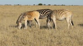 吃草在草原的平原斑马 影视素材
