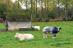 吃草在草原的比利时母牛在比利时 免版税图库摄影