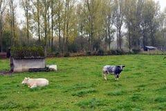 吃草在草原的比利时母牛在比利时 库存图片
