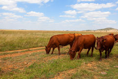 吃草在草原的牛 库存图片
