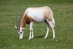 吃草在草原的短弯刀有角的羚羊属 免版税库存图片
