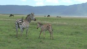 吃草在草原的角马和斑马 影视素材