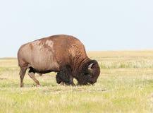 吃草在草原,南达科他,美国的成年男性北美野牛 免版税库存图片