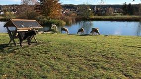 吃草在草地的山羊和绵羊在奶牛场湖附近 影视素材