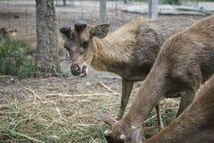 吃草在草地的幼小公鹿在农场 免版税库存照片