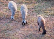 吃草在草地的形成的三只绵羊 免版税库存照片