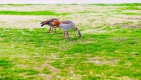 吃草在草坪的埃及鹅 免版税库存图片