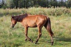 吃草在草甸的一匹马 免版税图库摄影