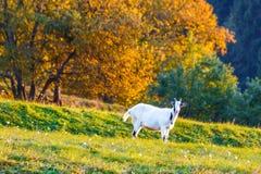 吃草在草甸的一只白色山羊 图库摄影