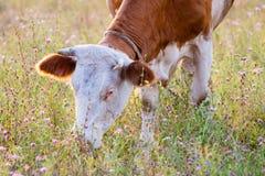 吃草在草甸的一头红色母牛 库存图片