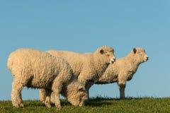 吃草在草甸的三只羊羔 免版税库存照片