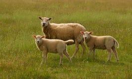 吃草在草甸的三只绵羊 图库摄影