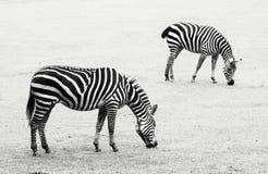吃草在草甸的两匹斑马 图库摄影