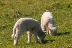 吃草在草甸的两只新出生的羊羔 免版税库存图片