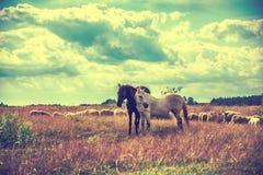 吃草在草甸的两只马和绵羊 免版税库存照片