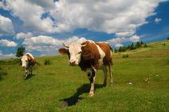 吃草在草甸的两头母牛 图库摄影