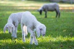 吃草在草甸的二只非常幼小羊羔 免版税库存图片