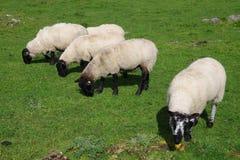吃草在草甸的五只绵羊 免版税库存照片