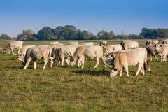 吃草在草甸的匈牙利灰色干草原牛牧群  Hortobagy 免版税库存图片