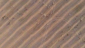 吃草在草甸的家畜大牧群在日落 鸟瞰图 股票录像