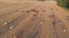 吃草在草甸的家畜大牧群在日落 鸟瞰图 股票视频