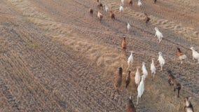 吃草在草甸的家畜大牧群在日落 鸟瞰图 影视素材