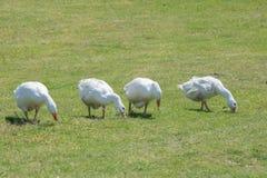 吃草在草甸的家养的鹅群  免版税库存照片