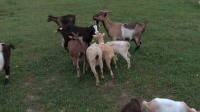 吃草在草甸的山羊在夏天 股票视频