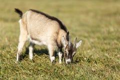 吃草在草甸的幼小山羊 免版税库存图片