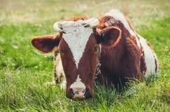 吃草在草甸的幼小母牛 图库摄影