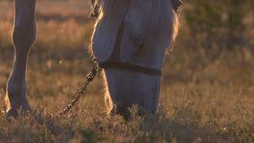 吃草在草甸的惊人的白马在美好的日落 股票录像