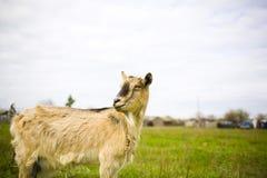 吃草在草甸的成人红发山羊 免版税图库摄影