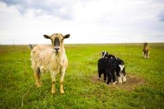 吃草在草甸的成人红发山羊 免版税库存照片